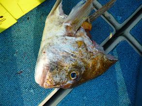 Photo: そして、真鯛の0.5匹。船頭さんが頂きました。塩焼きにして食べたらウマかったー! ・・・次回、リベンジですね!アダチさん!