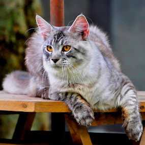 Nadal by Cacang Effendi - Animals - Cats Playing ( cats, kittens, kitty, chandracattery, mainecoon )