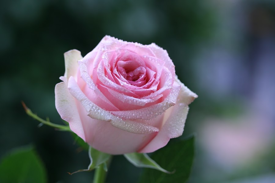 Phot Contest Pink (SYMBO) by Giovanna Pagliai - Flowers Single Flower ( calm, sweet, beautiful, romantic, cute,  )