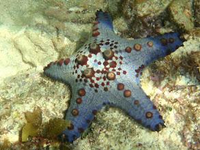Photo: Blue Sea Star, Siquijor Island, Philippines