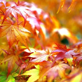Orange Drop by Scott Hemenway - Nature Up Close Leaves & Grasses ( orange, red, tree, autumn, color, leaf )