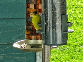Photo: Chardonneret jaune