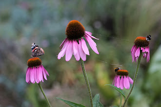 Photo: Memories of summer My Coneflowers are now brown and messy but the birds have been eating the seeds so I won't be cutting off the stems until the seeds are all gone. Here's a reminder of what they look like at their best, attracting butterflies (a Red Admiral) and bumble bees. There must have been a spider on them at some point too. :-)  For +GardeningWednesdaycurated by +Juliane Clausen+Jan Aynesand +Grant Meyer #gardeningwednesday  Also an early one for +Bee Thursdaycurated by +Dorothy Pugh #beethursday  And as this is my garden also for #close2home +Close2Home curated by +Brett Sivits, +David Pond, +Pia Raben, +Shaun Stewart, +José Juan Escudero, +Howard Weitzel and for +Daily Depth Of Fieldcurated by +Vince Ong+Nuraini Ghaifullahand +f.a. fiebig #dailydepthoffield