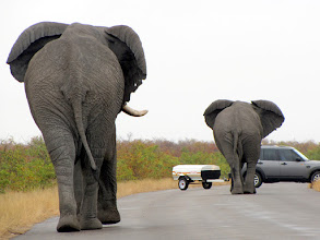 Photo: Kruger NP - elephants charging at the car