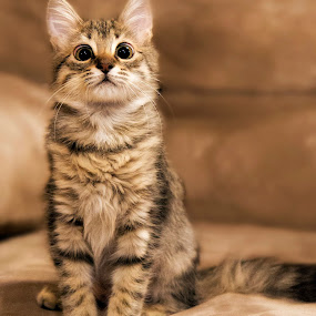 by Brook Kornegay - Animals - Cats Portraits ( kitten, cat, pet, cross eyed, feline, tabby,  )