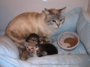 Photo: Mom with her 2 1/2 week old kittens in California.