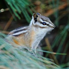 Chipmunk by Gérard CHATENET - Animals Other Mammals