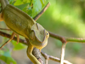 Photo: Our next cameleon, nearby