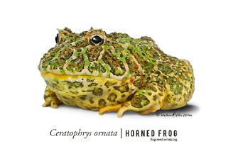 Photo: Ceratophrys ornata | Horned frog