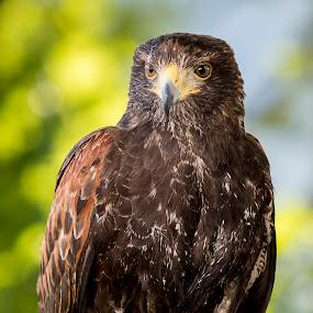 Buzzard by Boris Podlipnik - Animals Birds ( bird, bird of prey, nature, buzzard, air, animal )