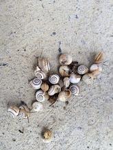 Photo: Bahçeme dadanan salyangozlar. Gördüğüm yerde üstlerine tuz döküyorum. Tüm sebzelerime saldırıyorlar.