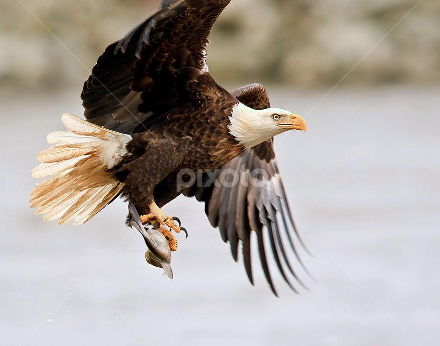 by Herb Houghton - Animals Birds ( bird of prey, eagle, bald eagle, raptor )