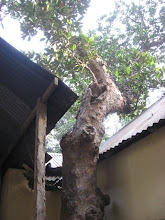 Photo: A view of the Chalta tree planted by Prabhusundar himself!