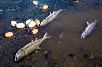 Photo: Netted dog salmon (Oncorhynchus keta) at the Tokachi River in Hokkaido. Photo courtesy of Akira Matsui.