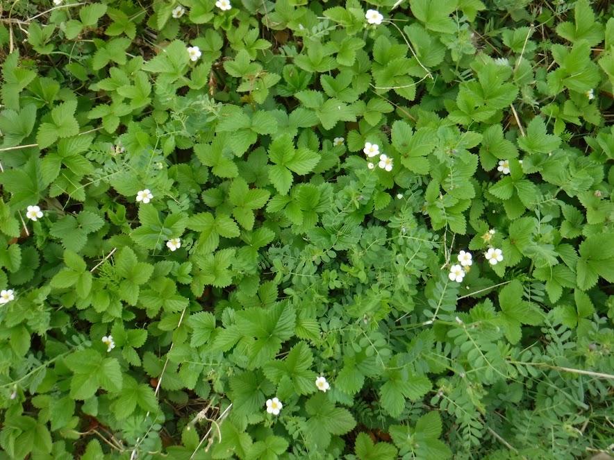 小島農園の看板の下に植えたワイルドストロベリーが、5年でずいぶん増えました。