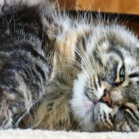 Sleepy by Nikki Scott - Animals - Cats Portraits ( cat, maine coon, tired, sleepy, feline,  )