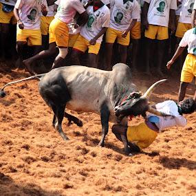 Catch me by Prithiviraj Kiridarane - News & Events Entertainment ( game, bull, animal )