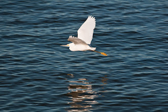 Photo: Snowy egret