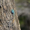 Black-necked Agama