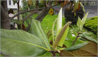 Photo: Magnolia grandiflora - din Turda,  Piata 1 Decembrie 1918, spatiu verde - 2019.05.16