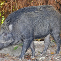 Wild Boar (male) बदेल
