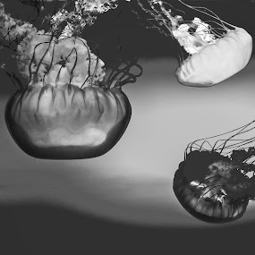 Deep Water Dancers  by Jordan  Richardson - Animals Sea Creatures ( dancers, black and white, fish, beautiful, ocean, jellyfish )