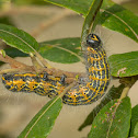 Buff Tip, larva
