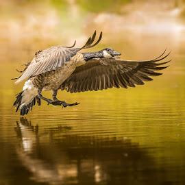 Gander Landing by Joel Jones - Animals Birds ( waterfowl, canada goose, goose, flying, birds, fowl )