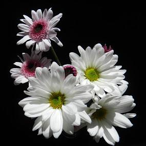 Sunlight on Mums by Kathy Rose Willis - Flowers Flower Arangements ( natural light, white flowers, purple, white, flowers,  )