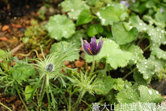 Photo: 拍攝地點: 梅峰-溫帶花卉區 拍攝植物: 復活節白頭翁 拍攝日期:2013_07_04_FY