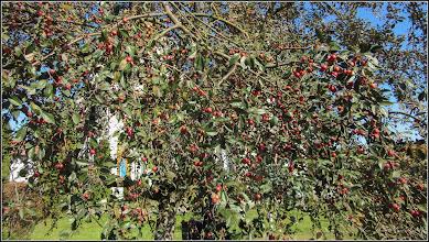 Photo: Măr decorativ (Malus Royalti) - vedere de pe Aleea Plopilor, parcul bisericii  din Turda - 2018.10.15