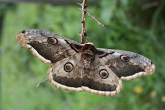 Photo: Saturnia pyri   Lepidoptera > Saturnidae