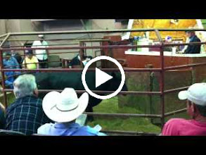 Video: Sand Mountain Stockyards, Alabama.  Cattle auction.