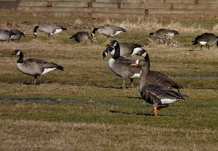 Photo: Greater White-fronted Goose