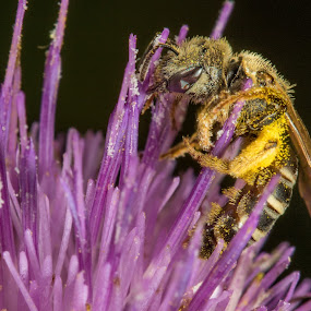 Bee by Jim Talbert - Animals Insects & Spiders ( macro, bee, insect, kansas, close up )