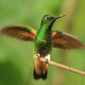 Hummingbird by Tadas Jucys - Animals Birds ( tiny, colibri, ecuador, fly, green, wings, hummingbird, beak, shiny,  )