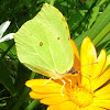 Common Brimstone.