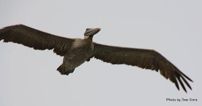 Photo: (Year 3) Day 20 - Pelican in Flight