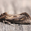 Eastern Grass Tubeworm Moth