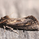 Eastern Grass Tubeworm Moth