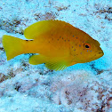 Coney Grouper (Yellow variant)