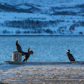 cormorants by Benny Høynes - Animals Birds ( winter, cormorant, pier, birds, norway,  )