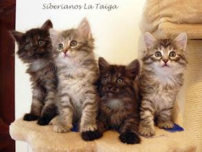 Photo: Guapísimos los 4 juntos! Quíron, Qitarah Lady Grey, Quennel y Quían (49 días)
