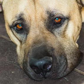 Harley by Eric Klein - Animals - Dogs Portraits