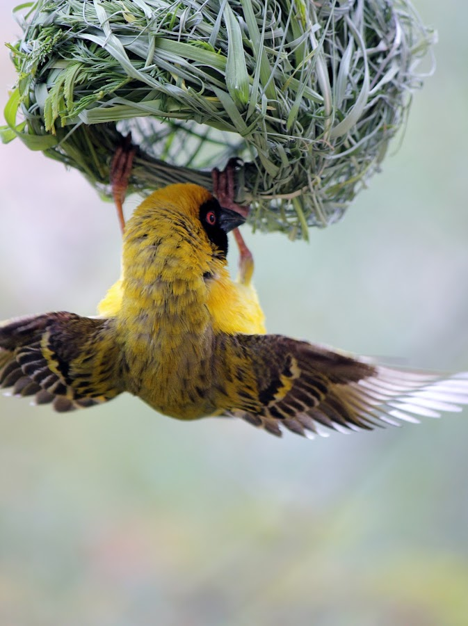 YELLOW FINCH - NEST BUILDING by Susan Botha - Novices Only Wildlife
