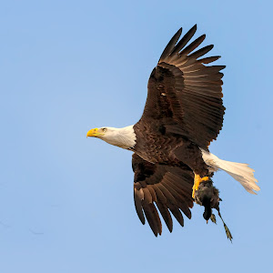 Eagle-with-Coot-G-32013.jpg