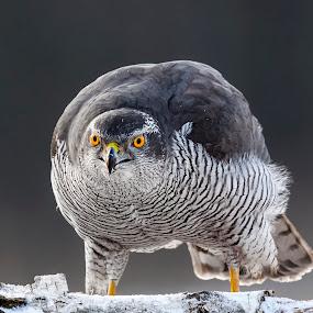 winter wildlife by Stanley P. - Animals Birds (  )