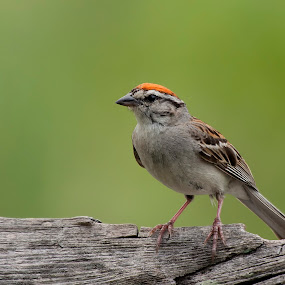 Chipping Sparrow by Patrick Morgan - Animals Birds ( bird, wood, nature, green, wildlife, chipping, sparrow )