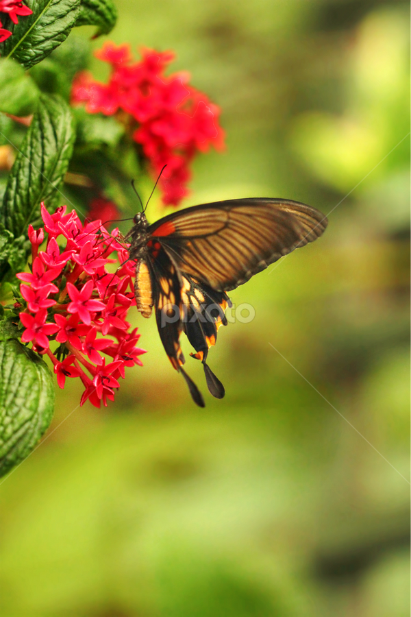 Red attraction by Stephanie Veronique - Animals Insects & Spiders ( butterfly, macro, nature, springs, insect, garden )