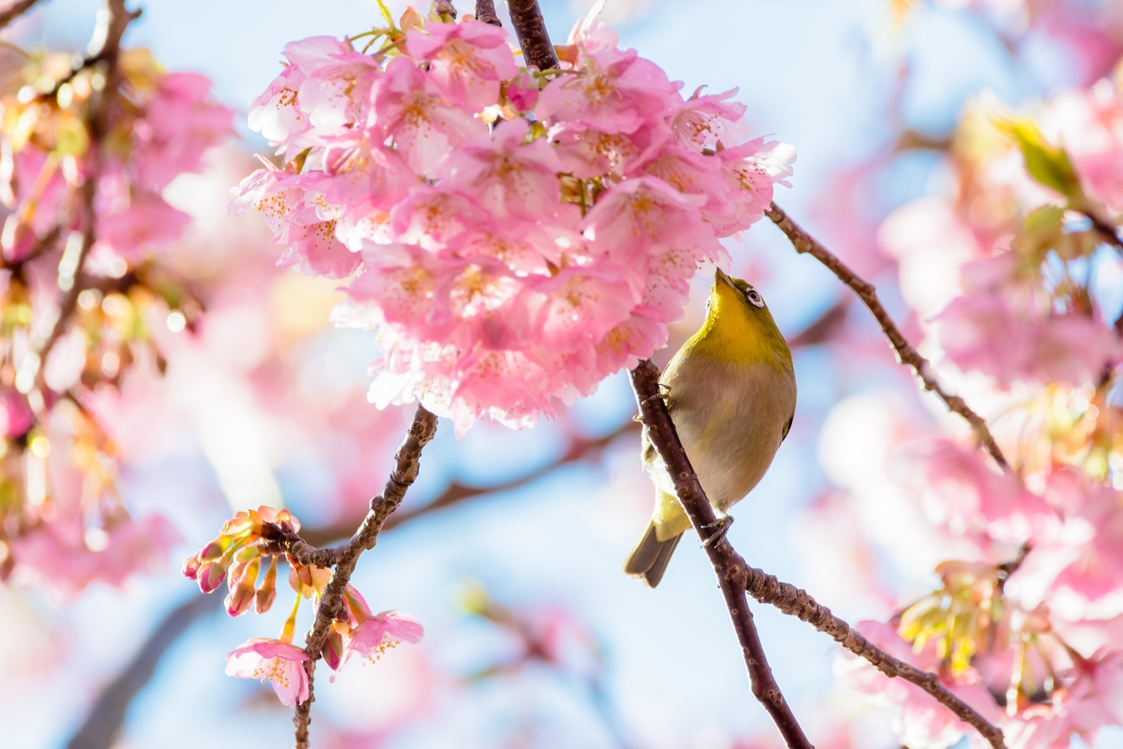 Photo: 「春に夢中」 / Crazy for spring.  高鳴る気持ち 好きで好きで 止まらない 春が駆け抜けていく  Japanese White-eye. (メジロ)  Nikon D7200 SIGMA 150-600mm F5-6.3 DG OS HSM Contemporary  #birdphotography #birds #kawaii #nikon #sigma #小鳥グラファー  ( http://takafumiooshio.com/archives/965 )